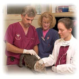 Superb Feline Hyperthyroidism Treatment Options Good Looking